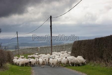 sheep walking and grazing along the