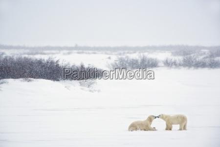 two polar bears ursus maritimus showing