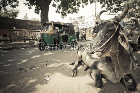 a rickshaw and a holy cow