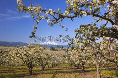 apple blossom trees in hood river