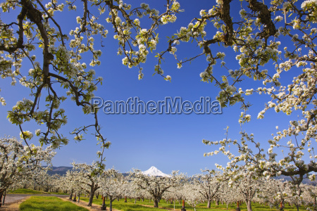 apple blossom trees in hood river