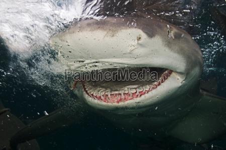 bahamas close up of lemon shark