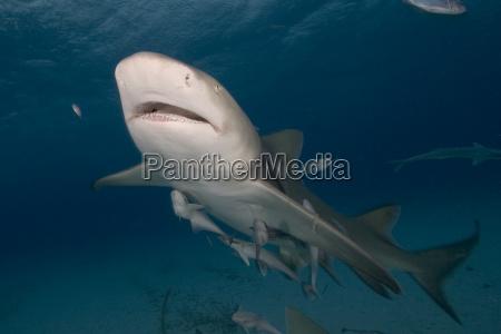 bahamas lemon shark negaprion brevirostris with