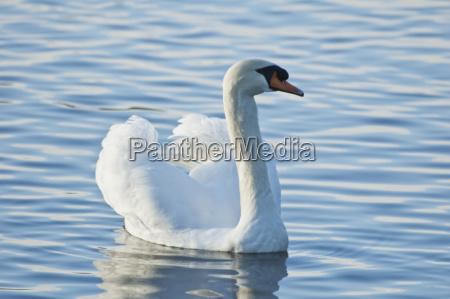 swan in lost lagoon in stanley