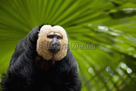a white faced saki monkey pithecia