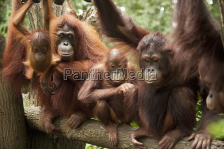 a family of orangutans at the