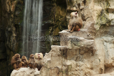 a family of baboons at the