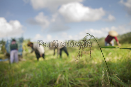 rice fields jatiluwih bali indonesia