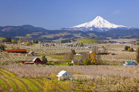 apple blossom trees and mount hood