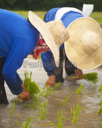 thailand planting new rice chiang mai