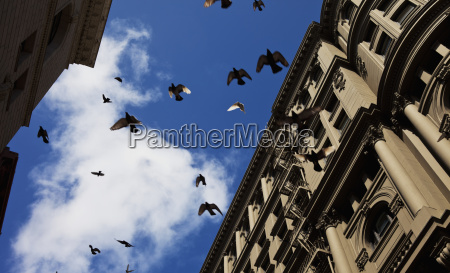 startled pigeons suddenly take off from