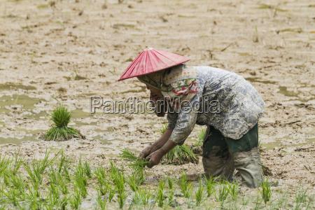 woman working a rice field lemo