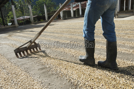worker raking coffee beans at a