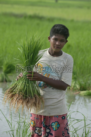 a boy holding paddy rice shoots