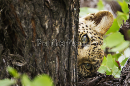 extreme close up of leopard in