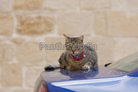 cat sunbathing on a car mdina