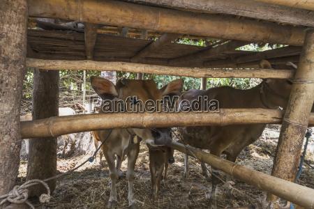 cow in a pen semparu lombok