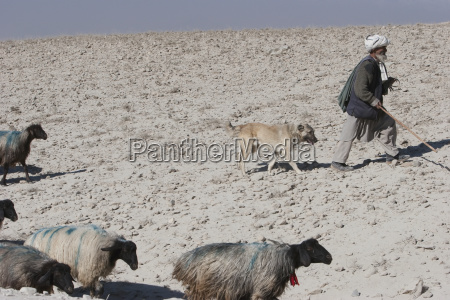 old afghan shepherd with his dog
