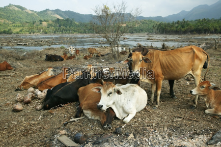 cows wander amongst destroyed fields looking