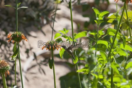 oasis hummingbird rhodopis vesper azapa valley