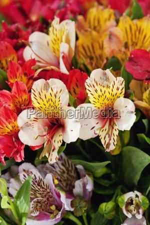 lilies for sale cuenca azuay ecuador