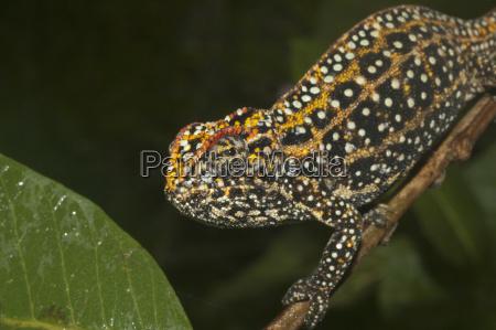 campani chameleon furcifer campani marozevo toamasina