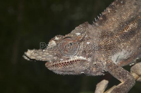 lesser chameleon furcifer minor marozevo toamasina
