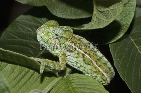 spiny giant chameleon or warty chameleon