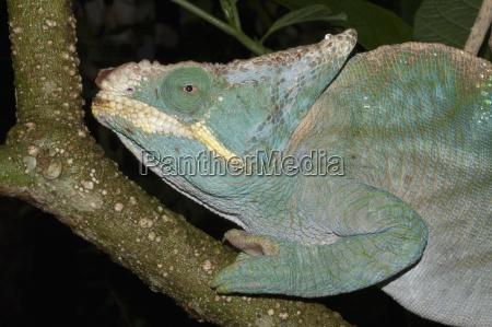 parsons chameleon calumma parsonii marozevo toamasina