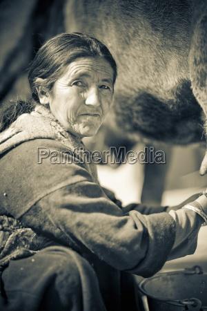 portrait of woman milking cow ladakh