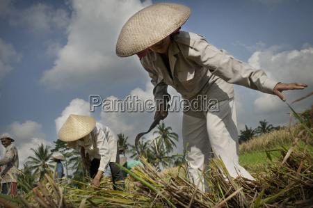 women working in a rice field