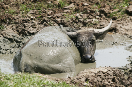 buffalo bathing in mud aceh province
