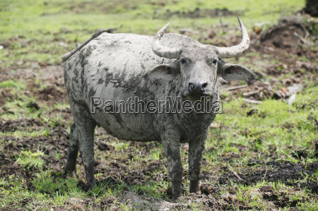 buffalo coated in mud aceh province