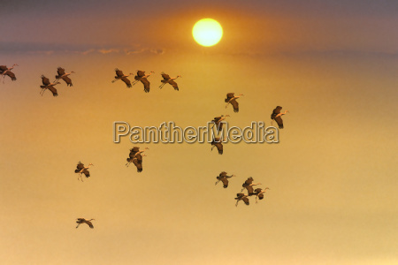 sandhill cranes grus canadensis flying at