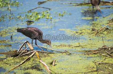 a glossy ibis plegadis falcinellus searches