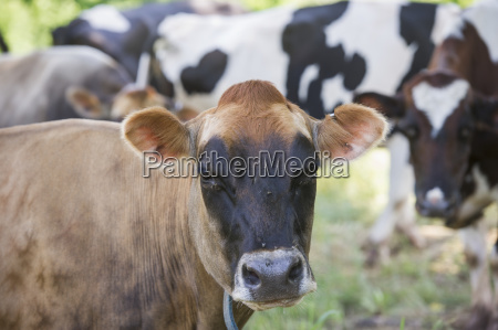 brown and black cows honesdale pennsylvania