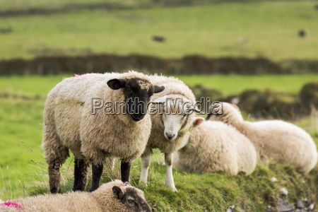 sheep on a grass field dingle