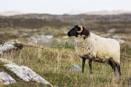 ram sheep in a rocky grass