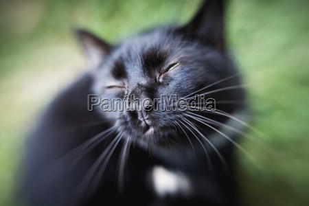black cat with squinting eyes fallston