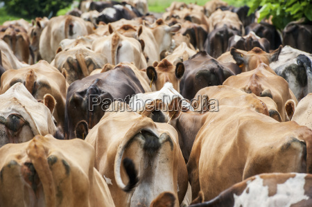 the backside of dairy cows walking