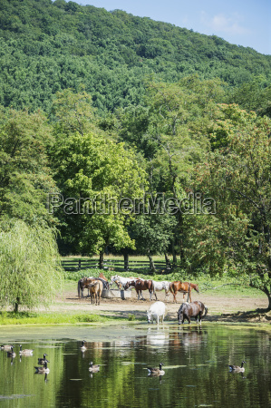 horses drinking water knoxville maryland united