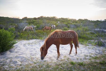 horses grazing at assateague island national
