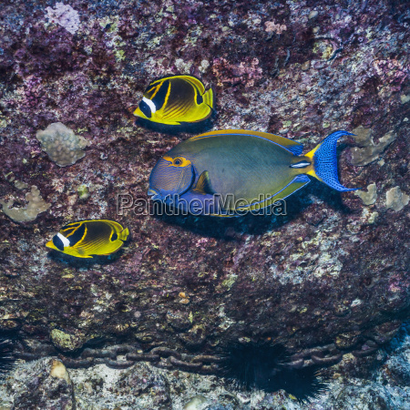 two racoon butterflyfish chaetodon lunula and
