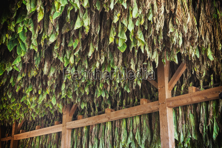type 41 tobacco drying in barn