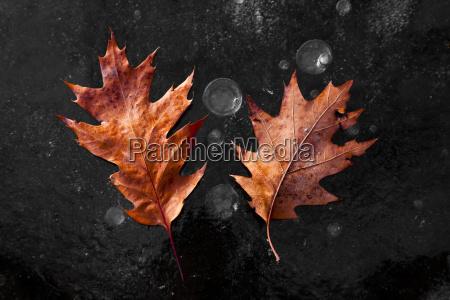 oak leaves laying on the backbone