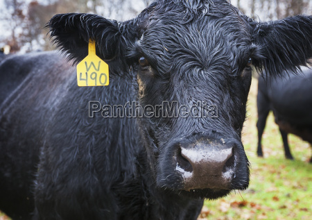black angus cow with a yellow