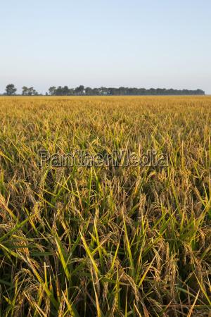 rice at harvest stage england arkansas