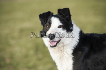 alert border collie sheepdog yorkshire england