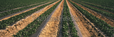 rows of mid growth bell pepper