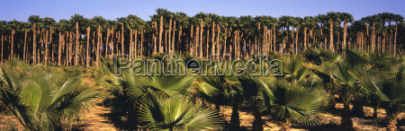 young small california fan palms in